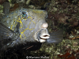 boxfish eating krill by Mariano Ma&#241;as 